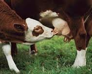 cowsmilk